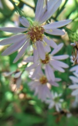 asters-2