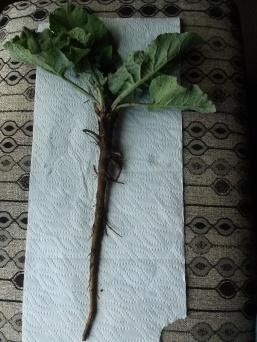 Burdock with root