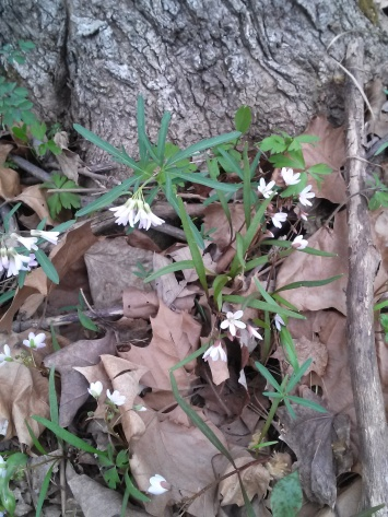 Cutleaf Toothwort and Spring Beauty