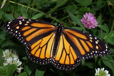 Monarch_In_May Kenneth Dwain Harrelson