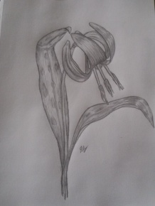 Trout Lily Sketch