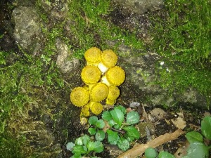 yellow-mushrooms