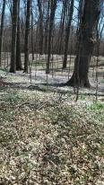 Spring Beauties blanket the forest floor.