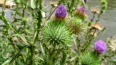 Bull Thistle bloom-wiki