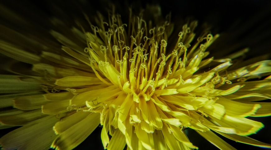 dandilion close up