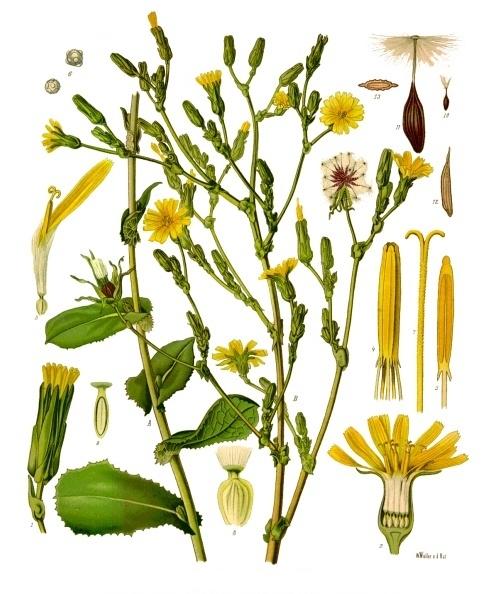 Lactuca_virosa_-_Köhler–s_Medizinal-Pflanzen-213