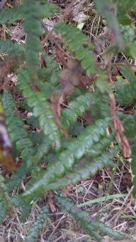 sweet-fern-1