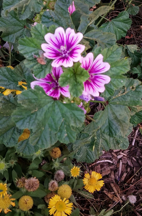 common-mallow