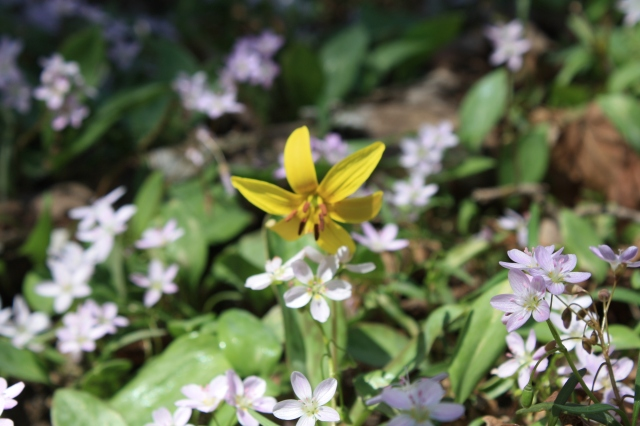 Trout Lilly rises above Spring Beauties
